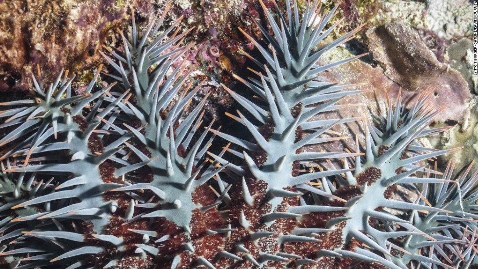 The crown-of-thorns starfish is the greatest natural threat to coral populations. Outbreaks of this coral-feeding fish can devastate entire reefs. Reasons for outbreaks remain unclear, but researchers hope that the survey will shed some light.