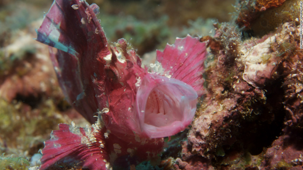 A camouflaged pink fish off the coast of Lady Elliot Island, the southernmost coral cay in the Great Barrier Reef.