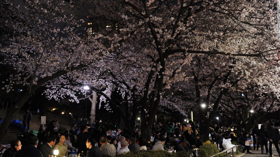 The sakura season is short and lasts only one to two weeks after the first flowers bloom. Next weekend is expected to be the highlight of the season, where scenes like this (from last year) will be commonplace.