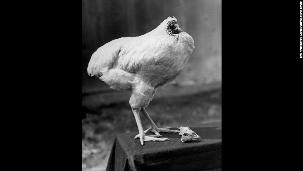 """A rooster named Mike lived for 18 months after losing his head in 1945 at a farm in Fruita, Colorado. According to some accounts, the day the ax fell Mike slept with his head under his wing. The story originally ran in an October 1945 issue of Life magazine. <a href=""""http://life.time.com/curiosities/photos-mike-the-headless-chicken-beyond-belief/#1"""" target=""""_blank"""">View more photos and read the stranger-than-fiction story at Life.com</a>."""
