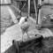 03 headless chickens