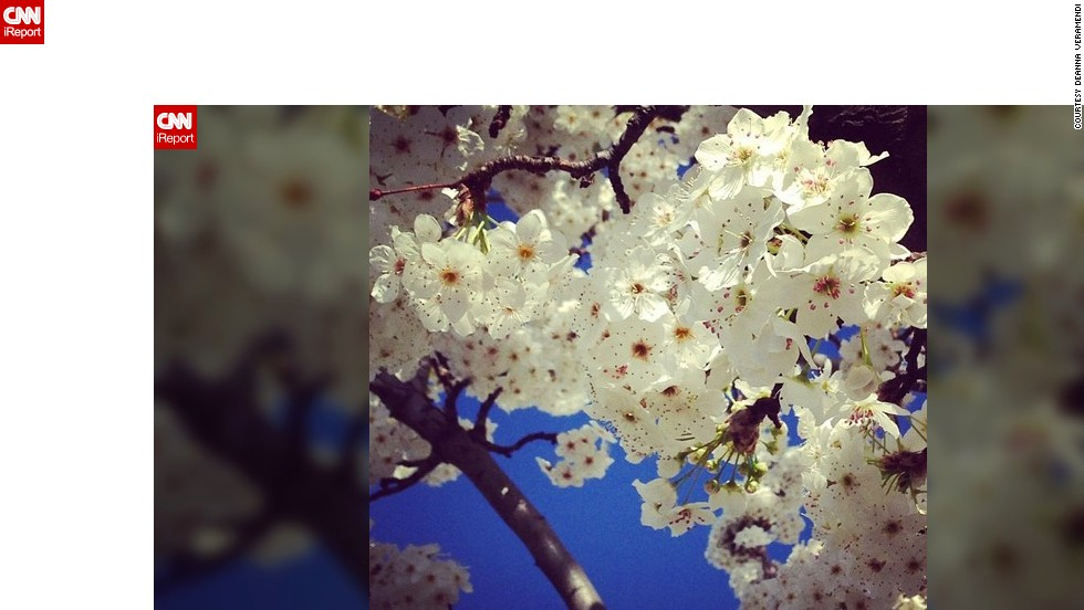 "Soon enough, the snow will go away and the cherry blossoms will bloom. Well, at least that's what's happening in <a href=""http://ireport.cnn.com/docs/DOC-945106"">Deanna Veramendi's </a>neighborhood in Sacramento, California."