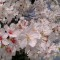 blossoms closeup