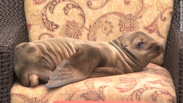 mxp ailing sea lion at hotel_00000314.jpg