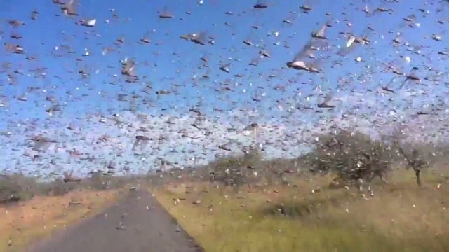 Watch locusts swarm around camera