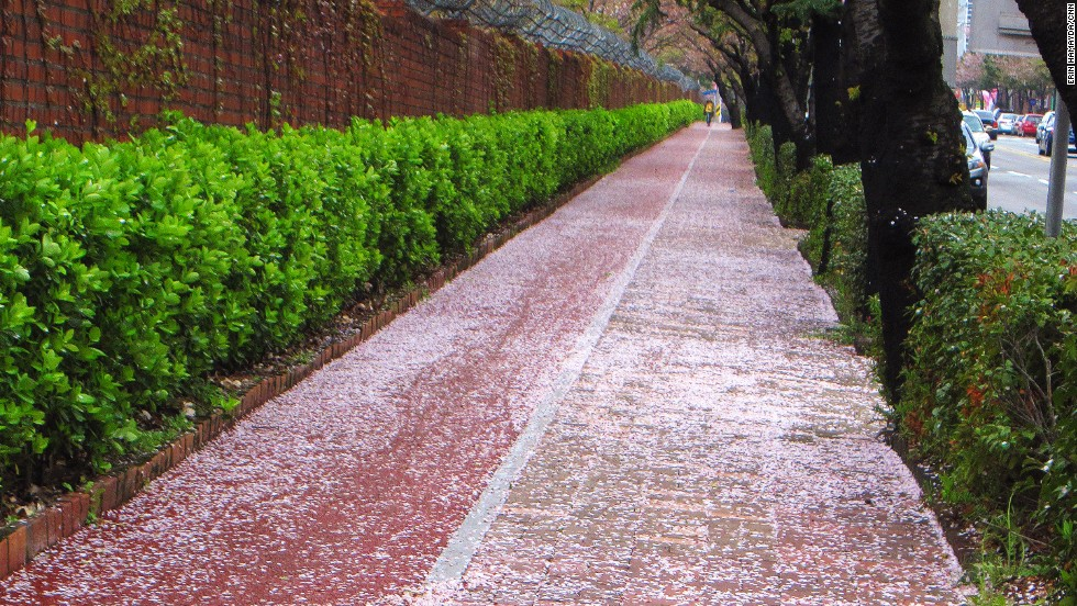 Even the slightest of breezes lead to cherry blossom petal showers that beautify paths and roads.