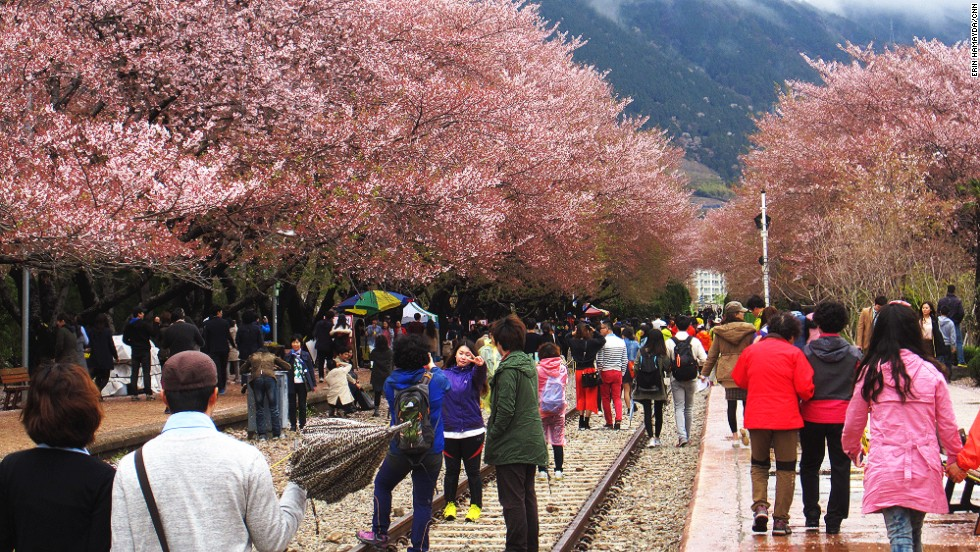 Some 340,000 trees line Jinhae's streets, rivers and train tracks, and dot surrounding mountainsides. The annual Jinhae Cherry Blossom Festival wraps up this week.