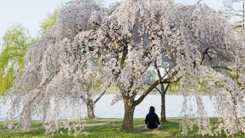 A woman meditates under a blooming cherry tree on the edge of the Potomac River in Washington, on Tuesday, April 9.