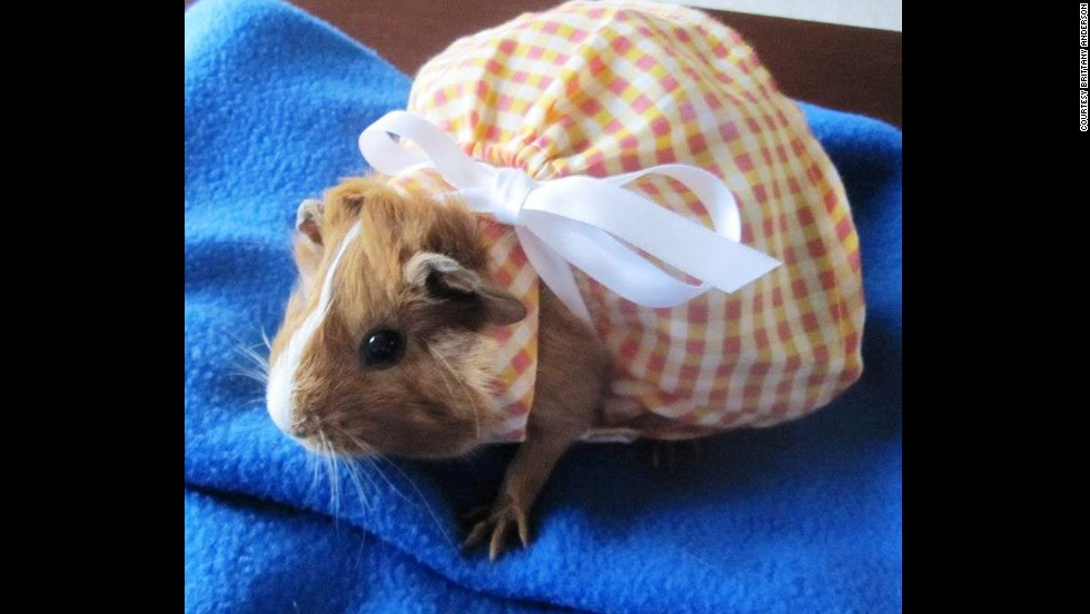Brittany Anderson of Minnesota grew up sharing her breakfast with hamsters. Now she spoils her three guinea pigs, including Honey Boo Boo, pictured here wearing one of her many dresses.