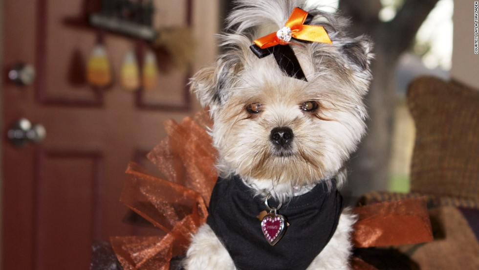 "Layla Torkzadeh's 4-pound Yorkie-Shih Tzu mix, Paisley, goes everywhere with Layla and gets her nails painted during ""pawdicures."""