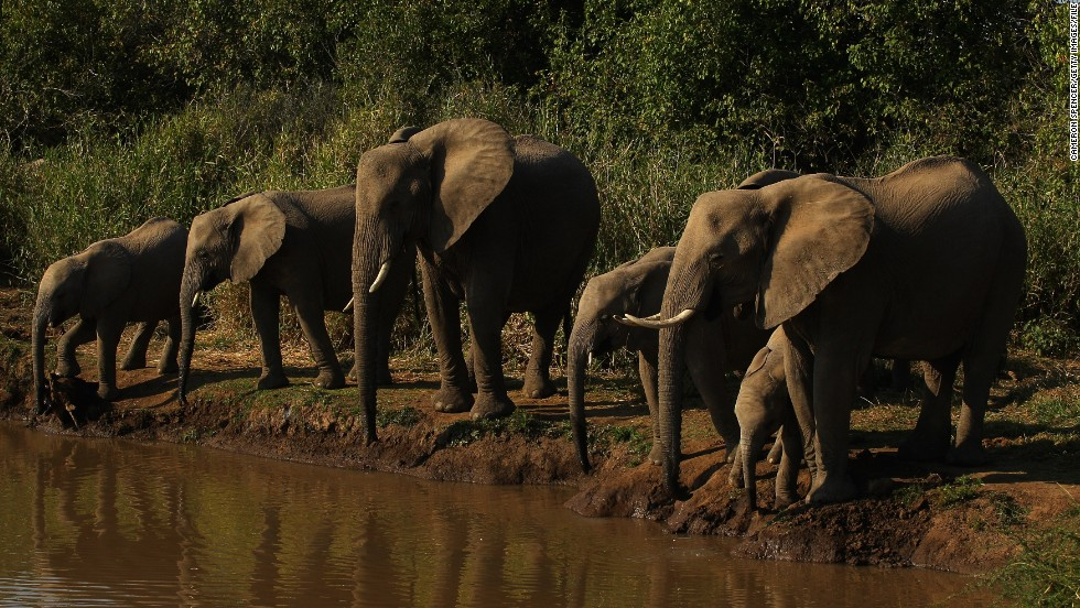 """The number of elephants in the national park of Lobeke has not reached a critical stage,"" says Nzooh. ""I am certain that if significant efforts are put in place the elephants will survive. Those efforts must be made on different levels, on site level, on an international level and on a national level."""