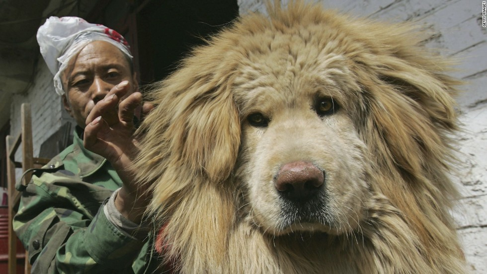 A feeder cleans the hair of a Tibetan Mastiff at Xining Purebred Tibetan Mastiff Breeding Base in Xining, Qinghai Province, China. The breed is in vogue in tropical Hong Kong even though it has been developed for temperatures the rarely rise above 10C.