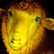 01 glowing sheep