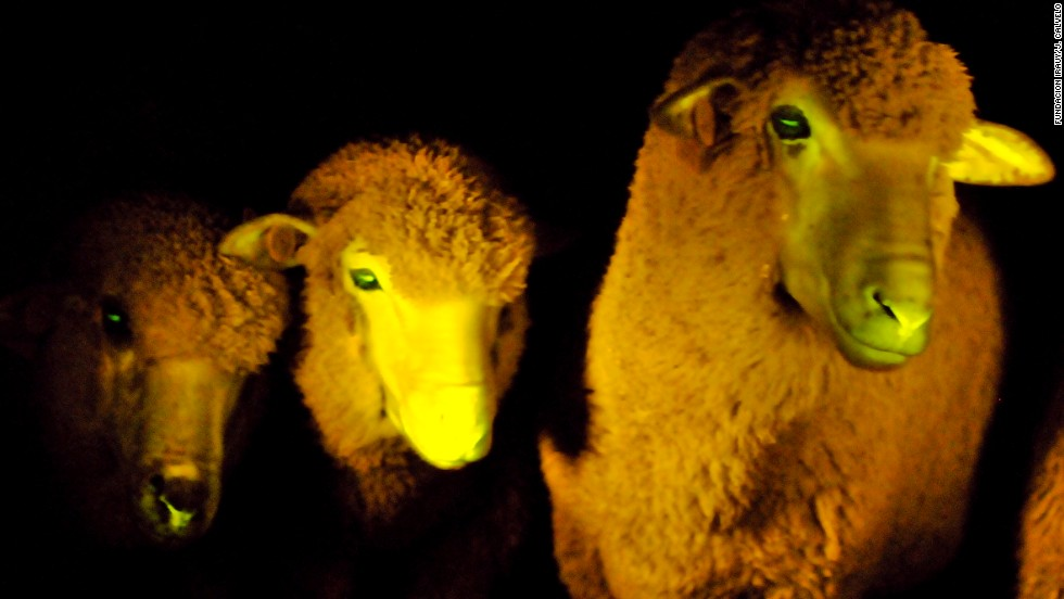 In total, nine lambs were born with this genetic modification. They are now 6 months old and in perfect condition, researchers said. These lambs look like regular lambs except that they glow when exposed to ultraviolet light, the scientists said.