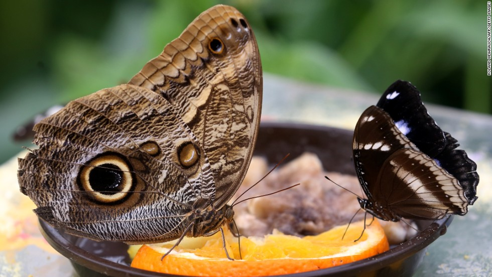An owl butterfly (L) and a great eggfly sit on an orange slice at the tropical house of the zoo in Krefeld, western Germany, on April 29.