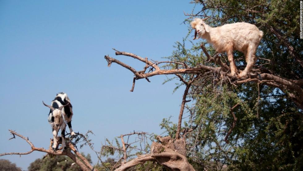 Goats climb an argan tree to get to its fruit near Essaouira on August 26.