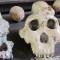 South Africa Human Origins skulls
