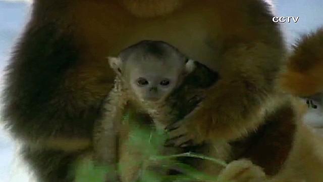 vo china baby golden monkeys_00002426.jpg