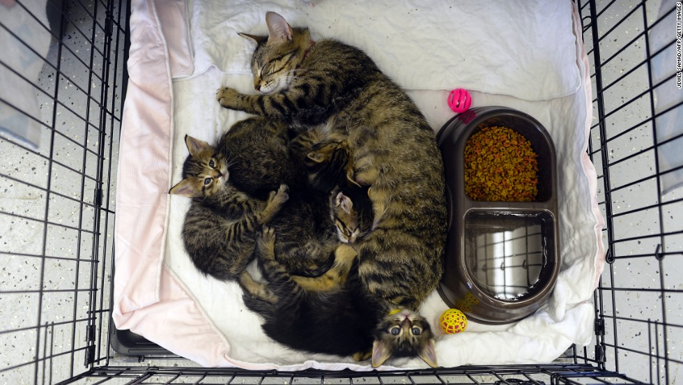 A cat rests with her kittens at a shelter on May 23.