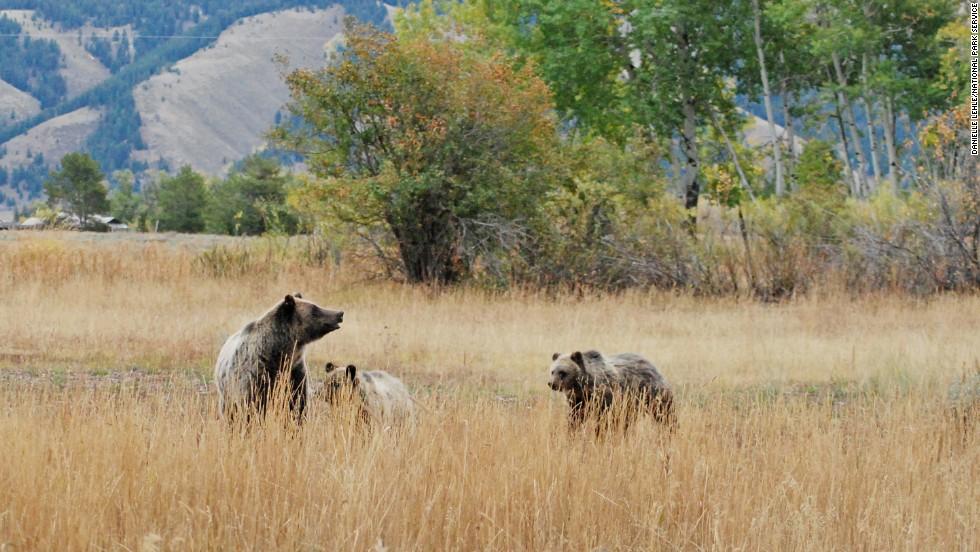 Alaska has numerous places to see grizzlies (brown bear), but the animals can be found in lower 48 parks such as Yellowstone and Grand Teton National Park (pictured).