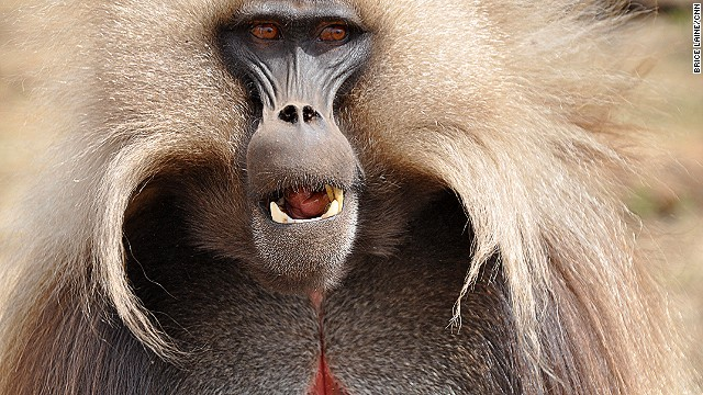 Gelada baboons are a species endemic to Ethiopia with a population estimated to be as high as 500,000. It's common to see groups of 200 or more baboons in the Simien Mountains. They're grass eaters, and considered to be one of the most sociable of African monkeys. Their harem-based social structure is said to be the most complex of all animals.