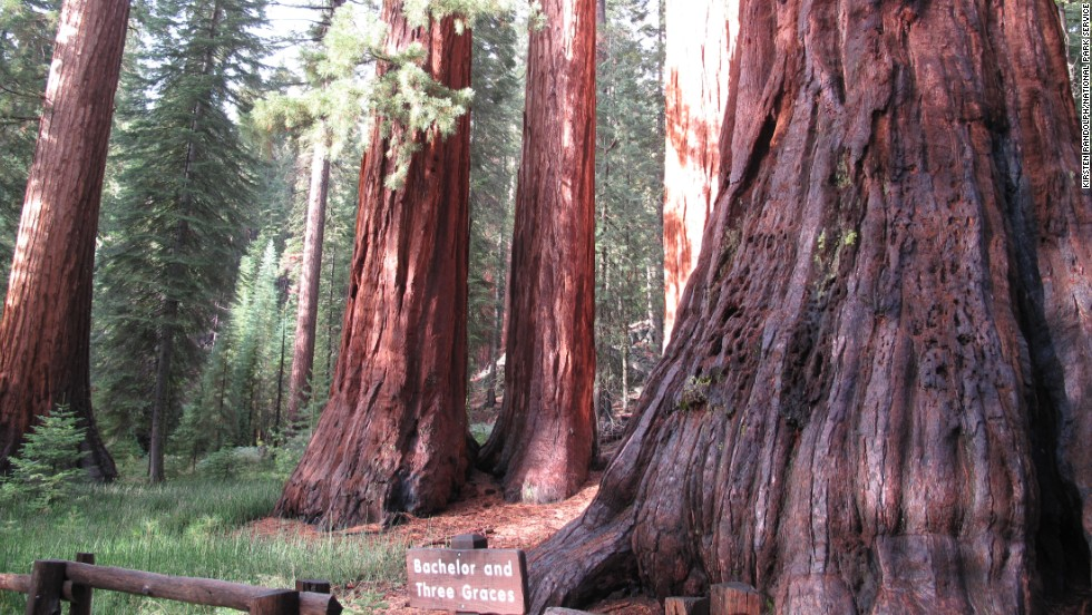 Walk through the Mariposa Grove of Giant Sequoias to see the sequoias known as the Bachelor and the Three Graces.