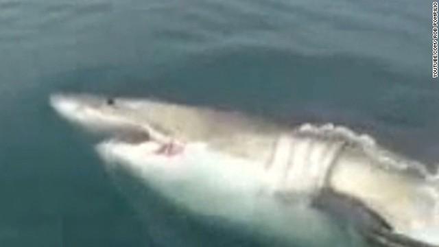 Great white shark swims up to fishermen