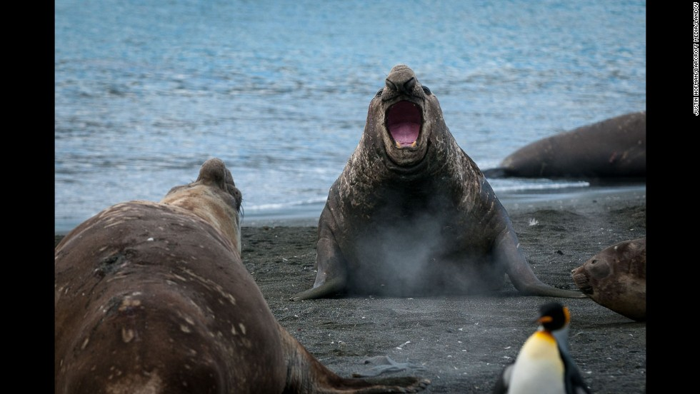 "Male elephant seals, or ""beach masters,"" protect harems of more than 100 females from other males thinking of moving into their territories."