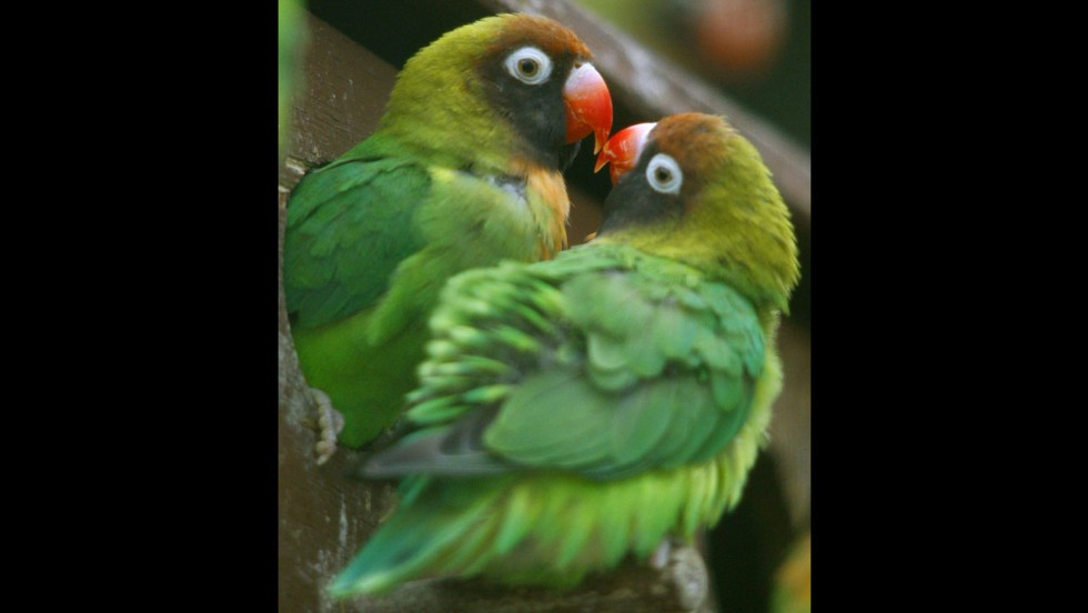 "Love birds mate and ""love"" for as long the other mate stays alive. If one dies, the other develops a bond with another individual."