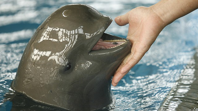 Rare porpoise in danger of extinction