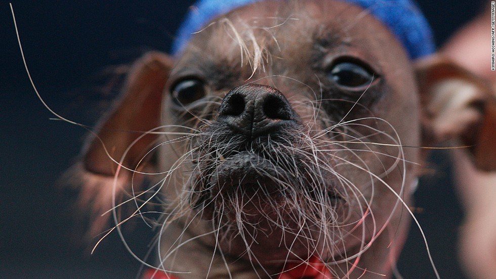 Mugly, a Chinese crested from the United Kingdom, won the contest in 2012.