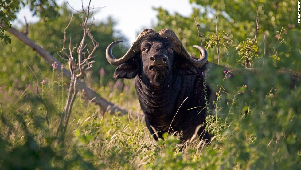 Weighing up to a ton, buffalo in Namibia were once relentlessly hunted for meat. Now, the species has excellent prospects in the Caprivi and other parts of Namibia due to ambitious conservation programs.
