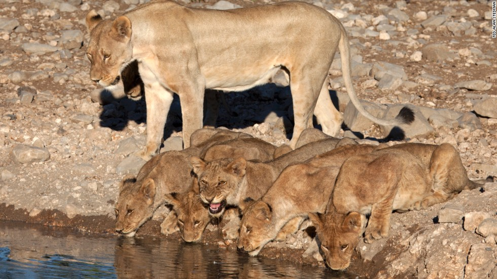 "Thanks to a dramatic decrease in poaching, Namibia is the only African country with an expanding, free-roaming lion population. In the endless arid mineral depression of Etosha (meaning ""Place of Dry Water""), the cats spend 20 hours a day sleeping in the searing heat. Come evenings, the prides awake to cooler temperatures and rendezvous at waterholes to stalk zebra and antelope."