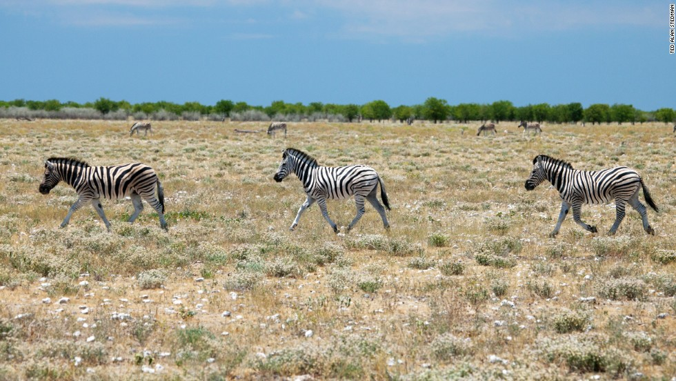Zebra are scattered in large number throughout Etosha and close encounters are practically assured. You can easily drive through the park: cars won't put the animals off. But you have to leave at sunset, or risk spending the night in your vehicle surrounded by sharp-toothed prowlers.