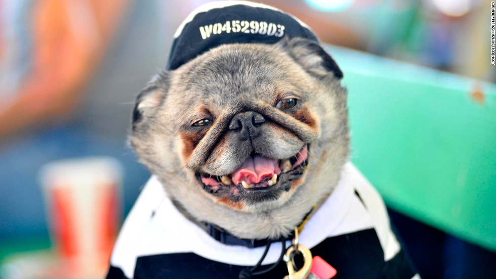 Grovie, a Pug, relaxes before the competition.