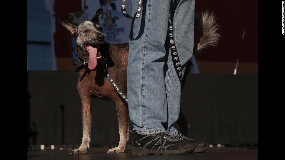 Reggie, a Peruvian mix, walks on stage.
