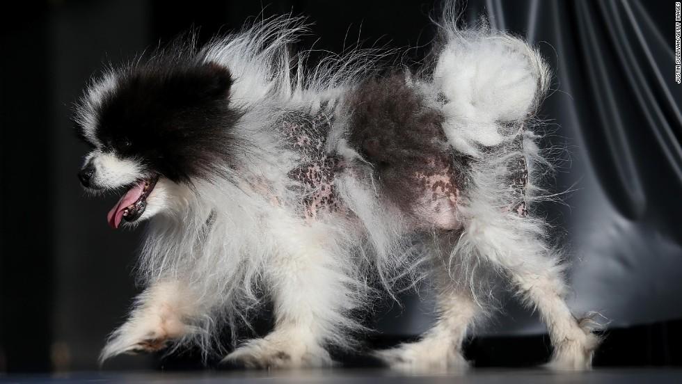 Mayzie Brown, a Pomeranian, walks on stage.