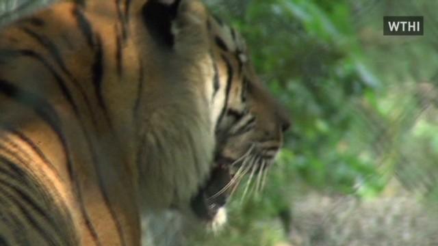 Tiger mauls caretaker in Indiana
