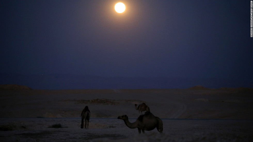 Camels wander under the moon as it rises over the Judean Desert in the West Bank on June 23.