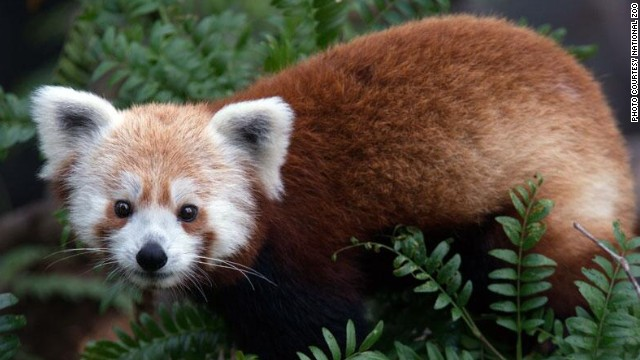 How did red panda escape from zoo?