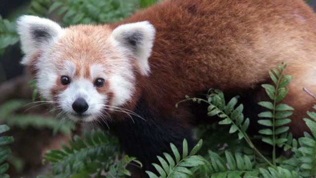 Missing red panda found