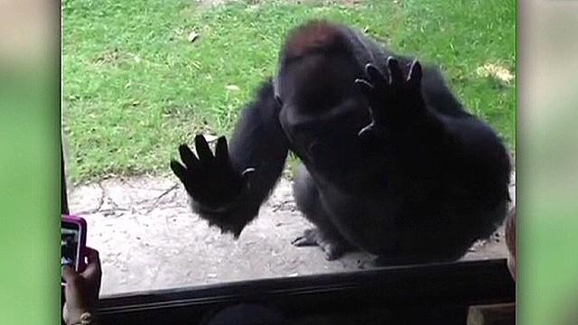 nr banfield kids taunt gorilla_00001625.jpg
