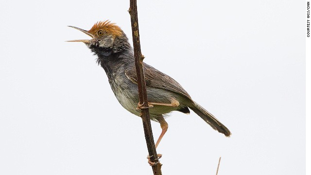 Scientists say the Tailorbird's unremarkable habitat may have kept it hidden from birdwatchers