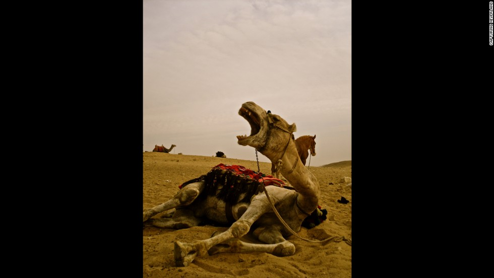 A camel lies on the desert sand in Cairo, Egypt, thirsting in the afternoon heat.