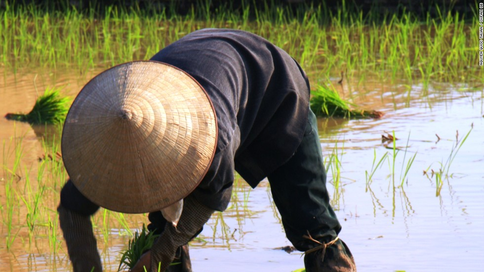 A rice farmer at work in Vietnam, where small scale farming has cut the country's malnutrition rate in half
