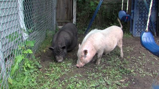 dnt oh women pet pigs_00002603.jpg