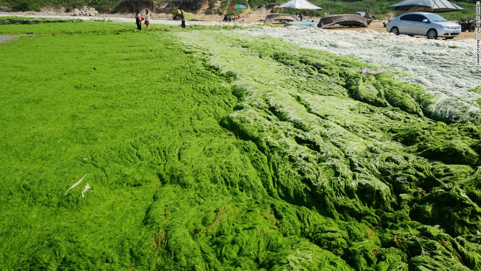 For the seventh year in a row, monstrous quantities of green algae have sprouted in the coastal waters near Qingdao.
