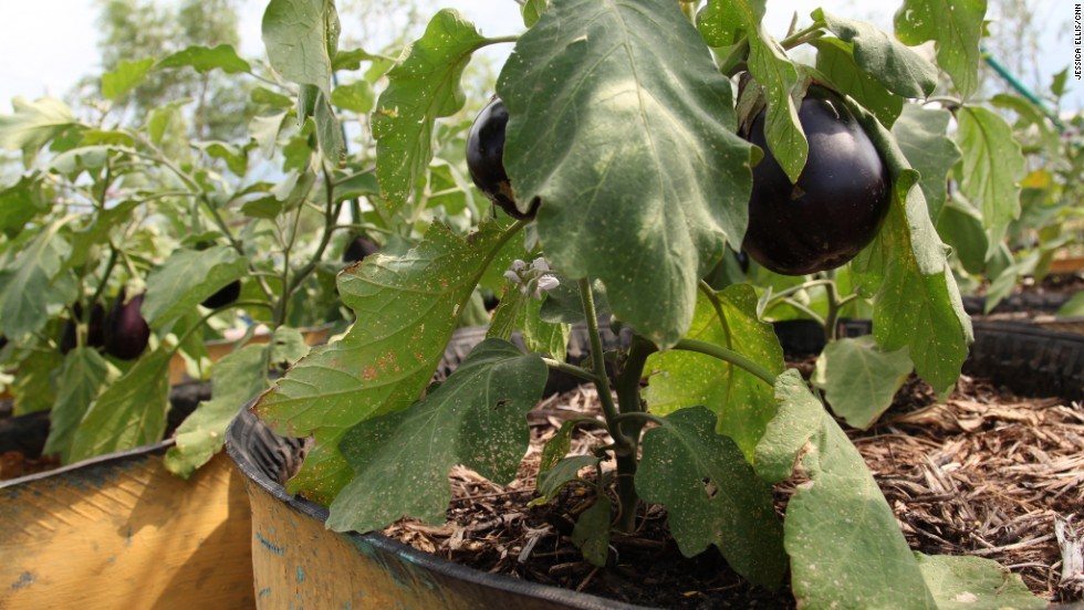 Eggplants are flourishing in Jaden Tap Tap (Garden Tap Tap).