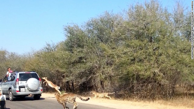 Watch impala escape from cheetah