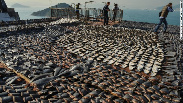 Shark fins dry in the sun on the roof of a factor in Hong Kong, one of the world's biggest markets for shark fins.